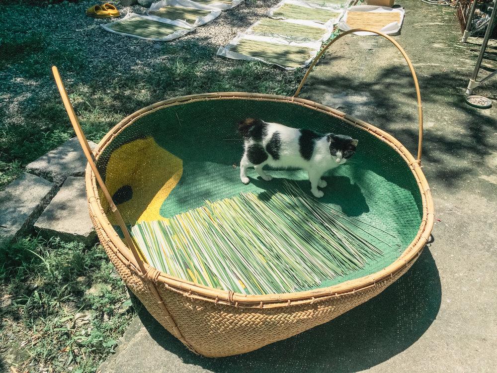 輪傘草的日光浴 -