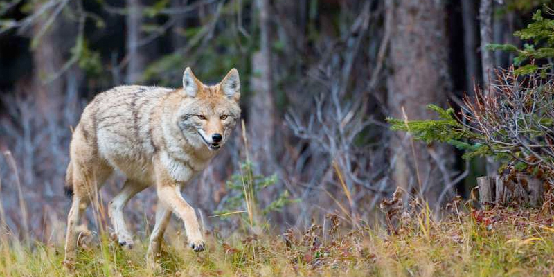 10 Ways To Protect Your Dog From Coyotes Dog Tales Rescue And