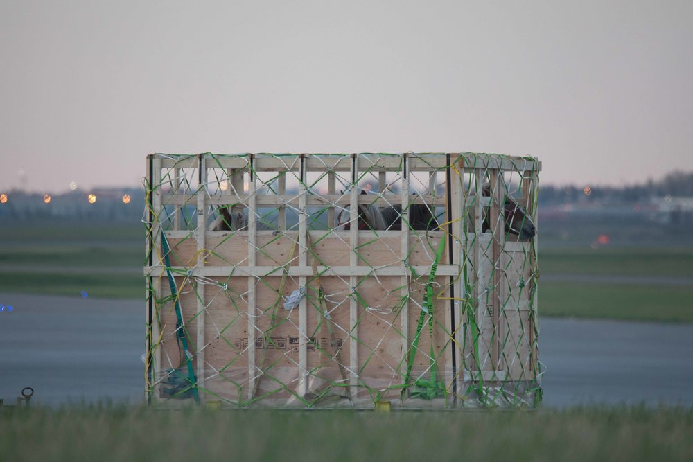 Four horses crammed into a wooden crate for transportation to Slaughter in Japan. Shipped out of   Calgary   international   airport.        Credit: https://globalnews.ca/news/3359253/live-horses-shipped-from-canadian-airports-to-japan-for-slaught