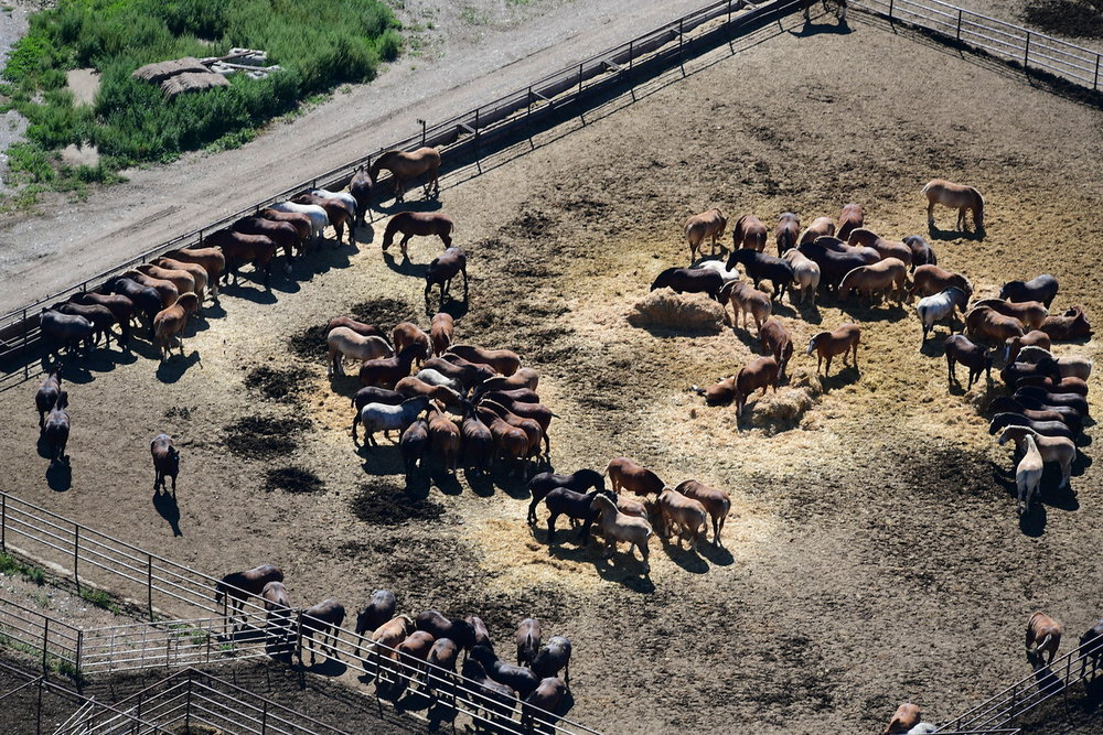Horses at the Bouvry Export feedlot in Fort Macleod, Alberta held solely for meat. Thousands are shipped every year live to Japan for slaughter.  Credit: https://www.vice.com/en_ca/article/zmegw4/tracking-canadas-horse-slaughtering-trade-from-alberta-to-japan