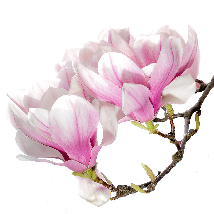 Magnolia Blossom Seeds Of Remembrance