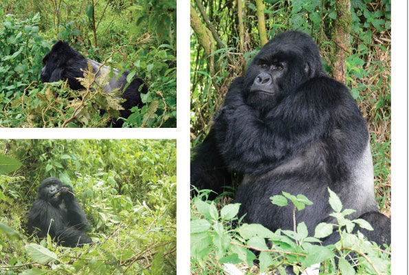The Mountain Gorillas of Uganda