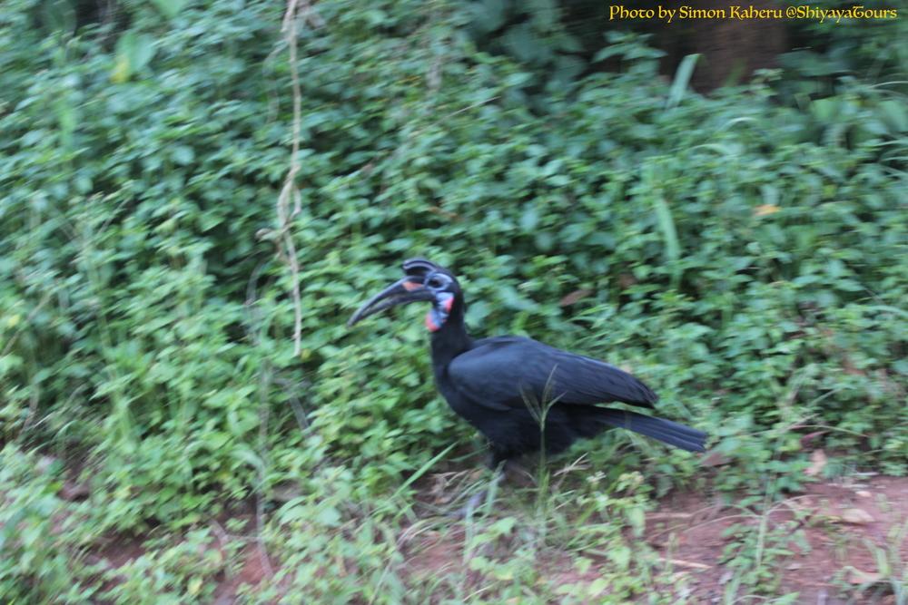 Abyssinian Ground Hornbill at the gate of Murchison Falls National Park.JPG