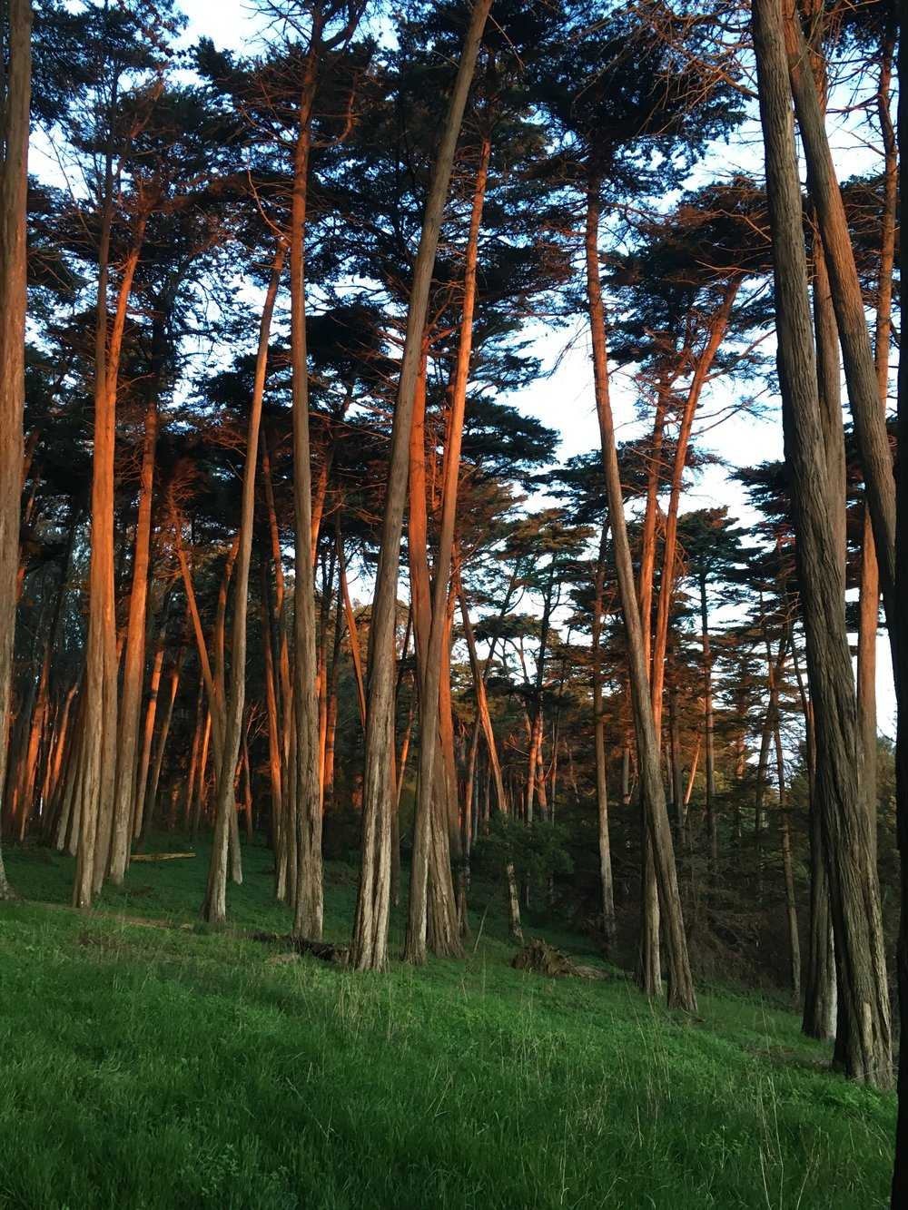 sunrise on the trees along the Presidio's ridge, my old neighborhood