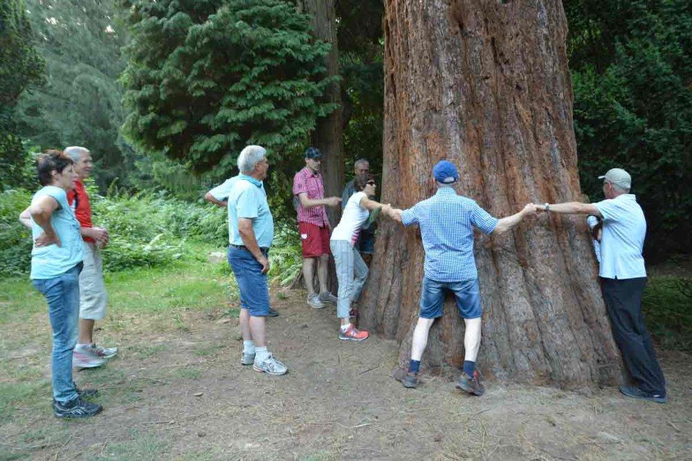 6,70 Meter misst der Stammumfang des Mammutbaumes