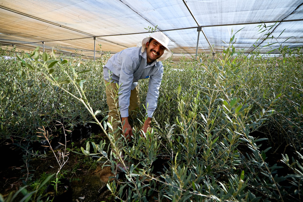 Egypt-olive-seedlings-nursery.jpg