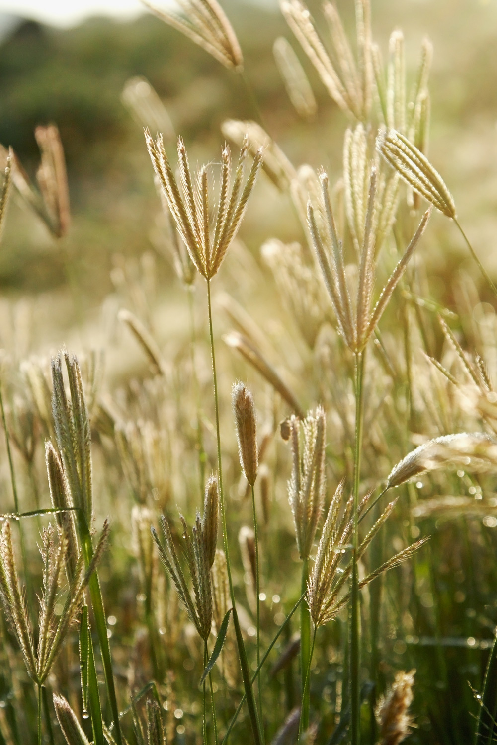 ethiopia-flowering-grass.jpg