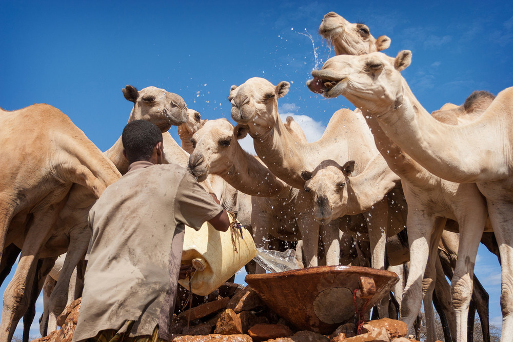 new-pastoralist-waters-camel.jpg