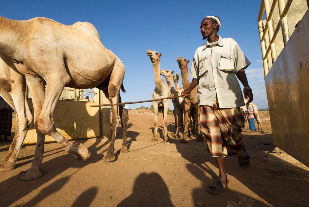 ethiopia-camels-livestock-market.jpg