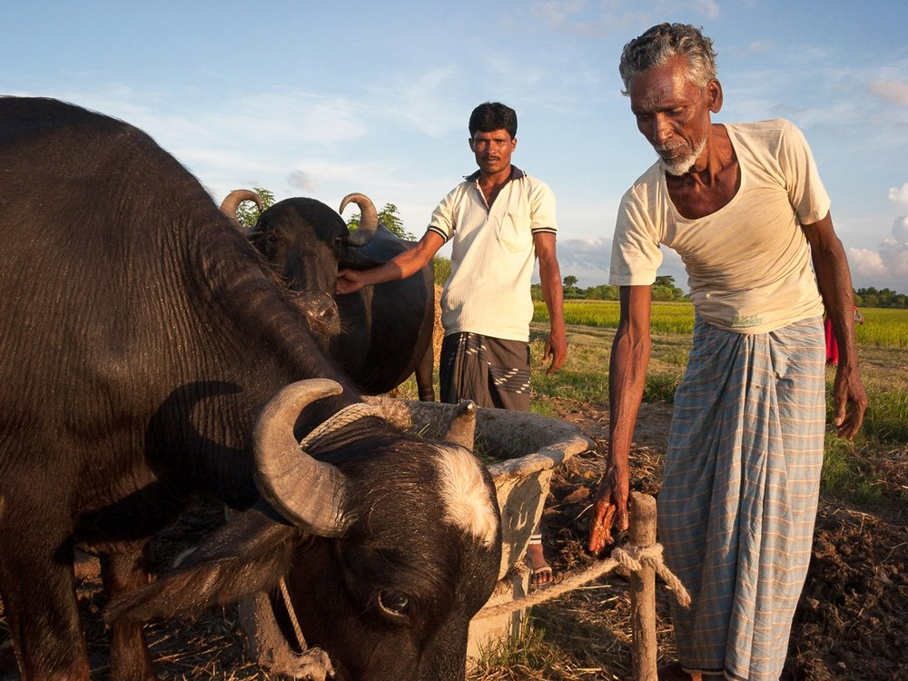 bangladesh-water-buffaloes.jpg
