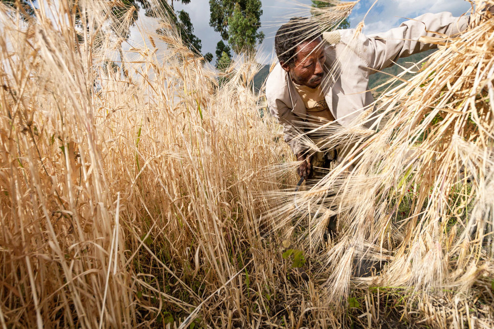 Ethiopia-farmer-wheat.jpg