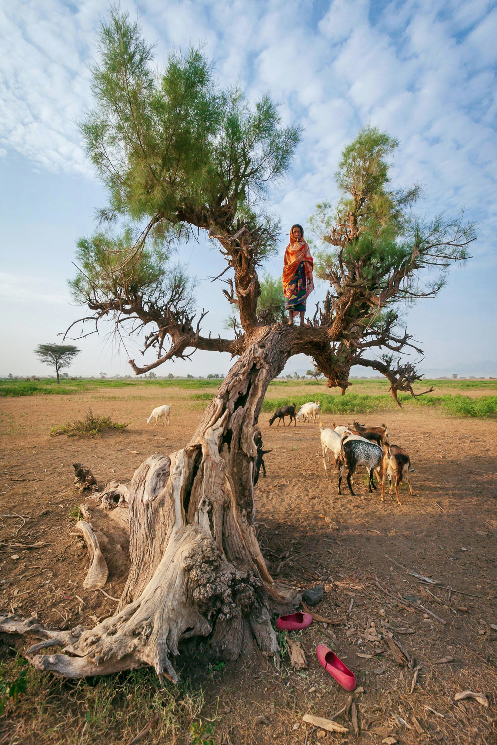 Asalmahi watches the goats from up in a tree; Afar, Ethiopia