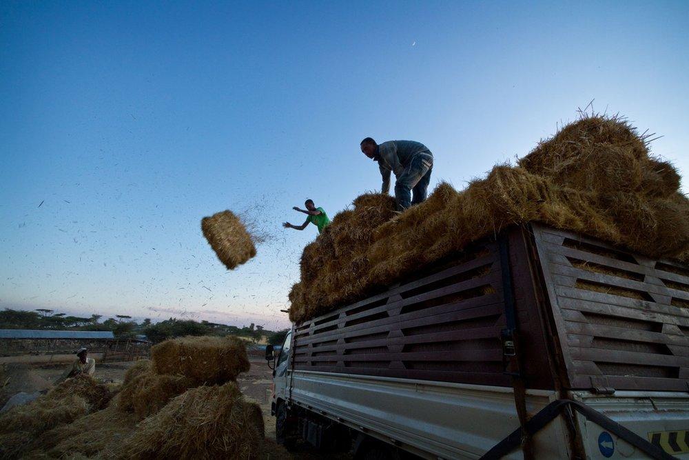 ethiopia-drought-livestock-hay-truck.jpg