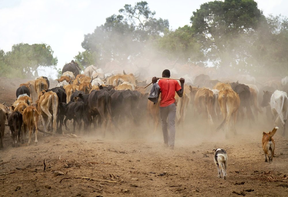 kenya-pastoralist-cattle-dogs.jpg