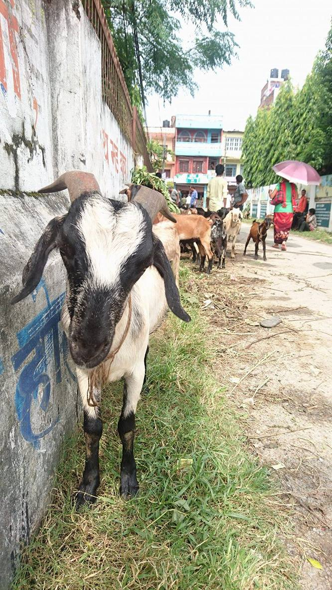 Goat ready to be bought in Damauli. Photo by Kathrine O. Flaate.