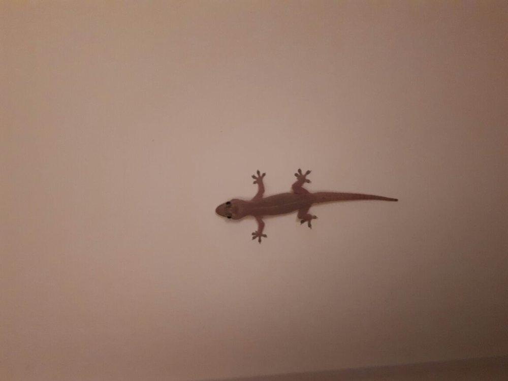 Gjermund, nuestra gecko en la terraza. Foto de: Kristine Nordås Toska.