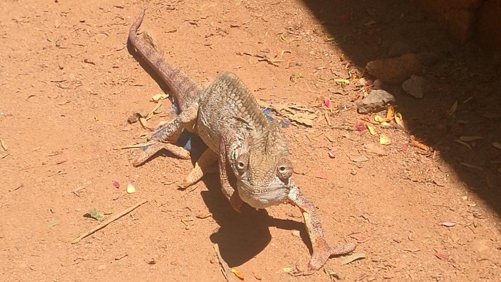 A chameleon who sometimes crosses our way.  Un caméléon qui parfois croise notre chemin.
