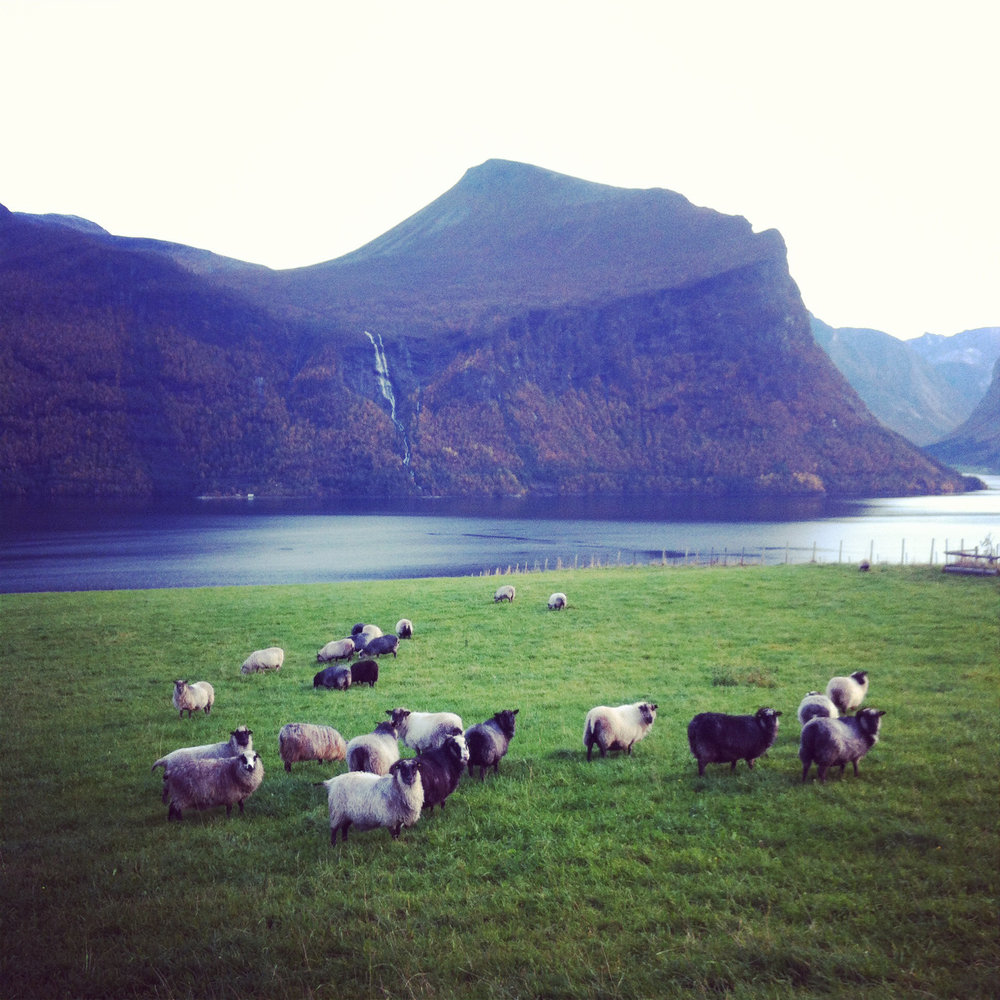 Photo of sheep in Ingrid's village of origin, Torvik. Photo: Ingrid Legrand Gjerdset