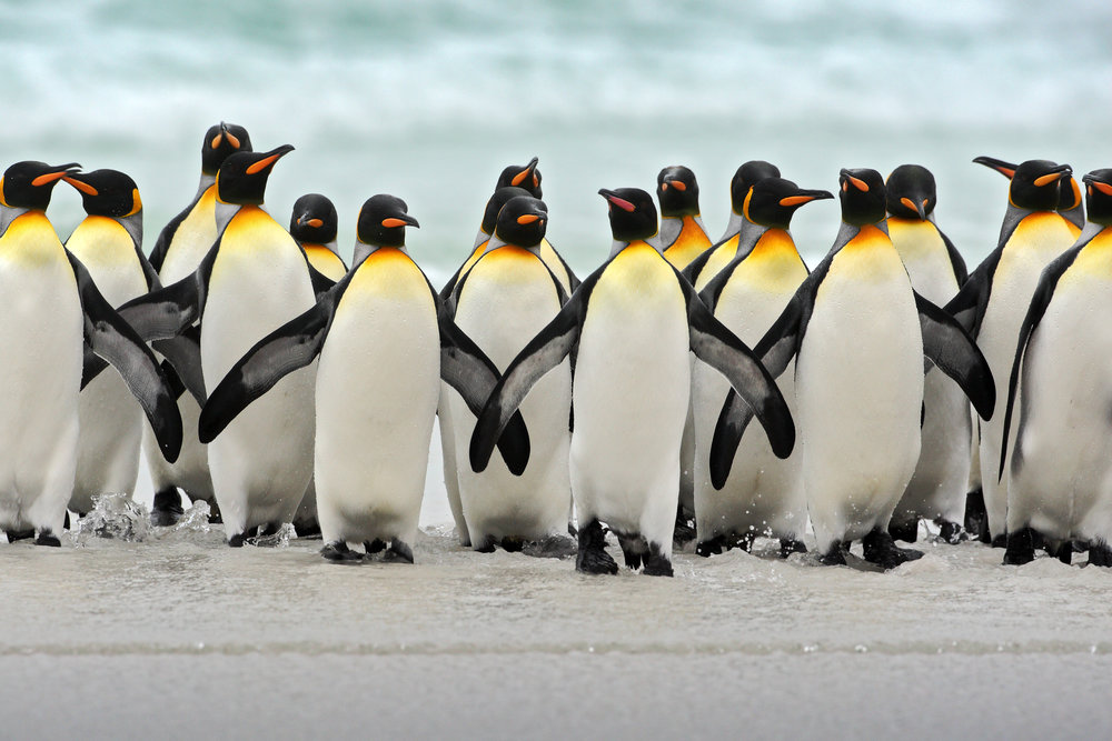 Group of king penguins (C) OndrejProsicky via Depositphots.jpeg