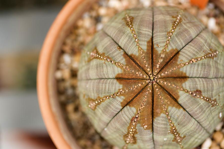 PIB_Cactus_EuphorbiaObesa_060815_002_Nieh.JPG