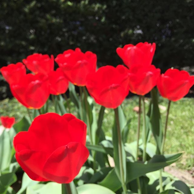 Happy day, lovers.❤️😘💋#weareflowerheads #valentinesday #red #tulips #spring #tbt #hearteyes #garden #colorful #asseenincolumbus #614 #sunshine