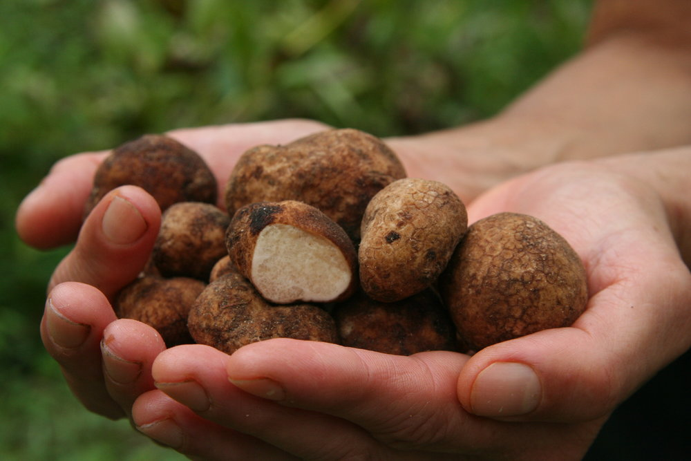 Hands full of  Imaia gigantea  truffles. Photo by Todd Elliott