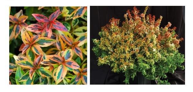 Kaleidoscope Abelia The Garden Kingdom
