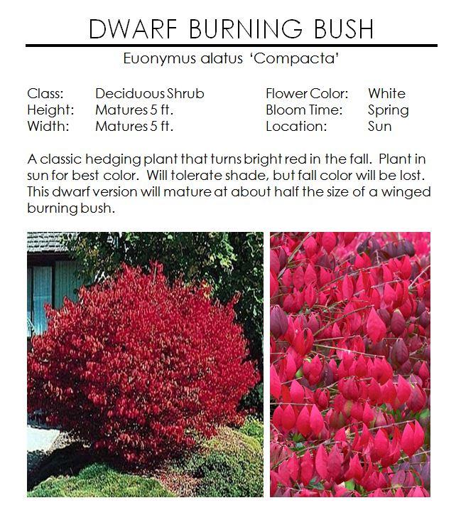 Dwarf Burning Bush Euonymus — The Garden Kingdom