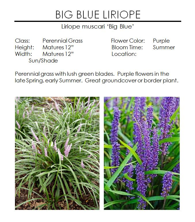 Big Blue Liriope Grass The Garden Kingdom