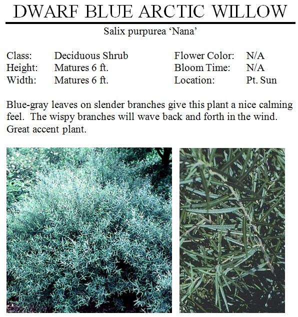 Dwarf Blue Arctic Willow The Garden Kingdom