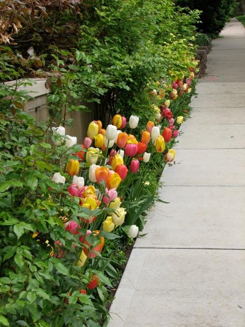 407 Tulips 1.jpeg