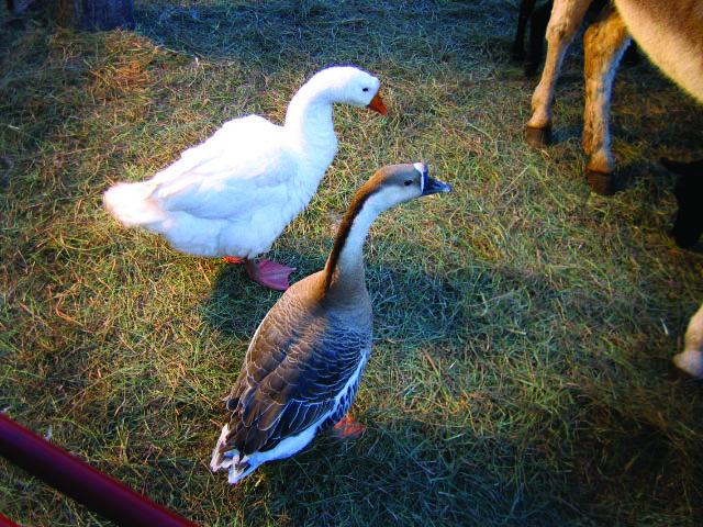 1.98 Christmas Geese.JPG