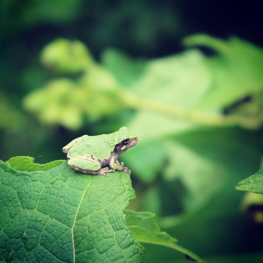 Gray Treefrog ( Hyla versicolor )