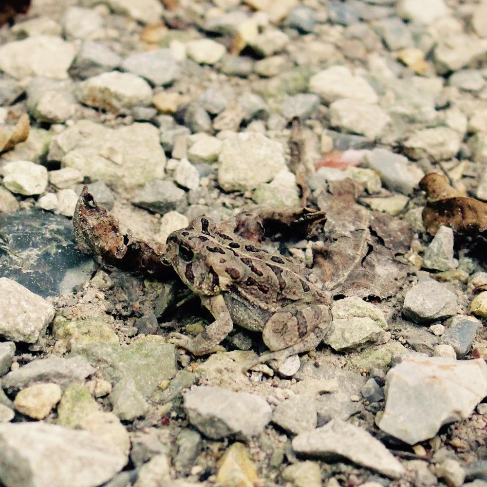 Fowler's toad  ( Bufo fowleri)