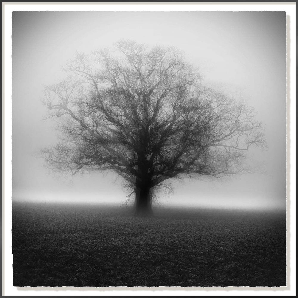 Winter Oak In The Mist 2 - 40 x 40cm