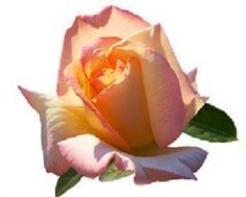 baptism_rose.png