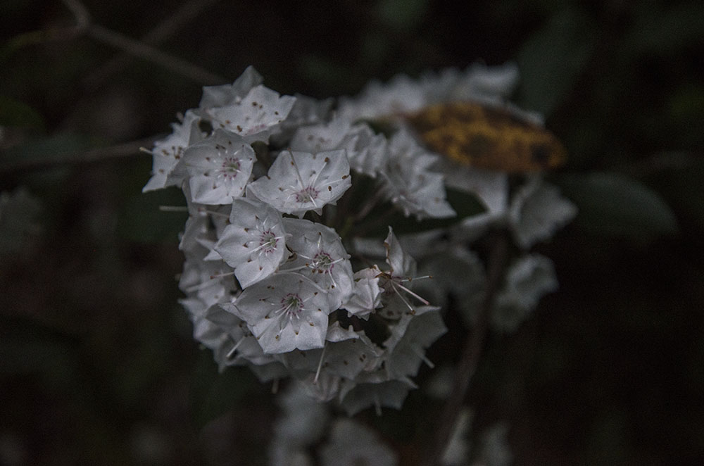 Mountain Laurel, Dusk