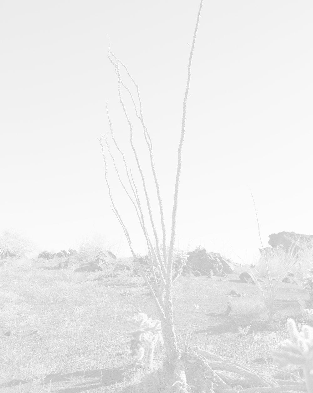 scott b. davis  ocotillo, ocotillo (no. 9), 2015/2016 palladium print 20 x 16 inches edition of 5