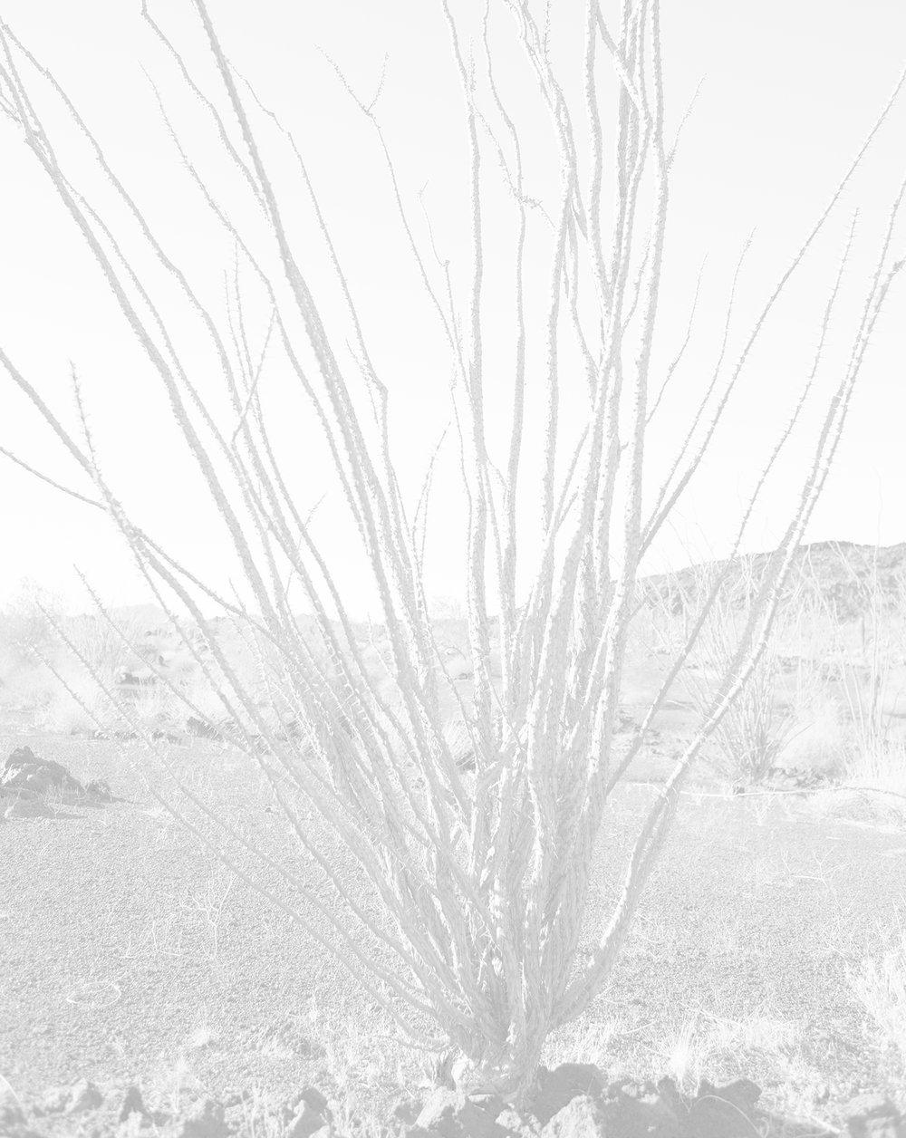 scott b. davis  ocotillo, ocotillo (no. 17) , 2015/2016 palladium print 20 x 16 inches edition 1/5