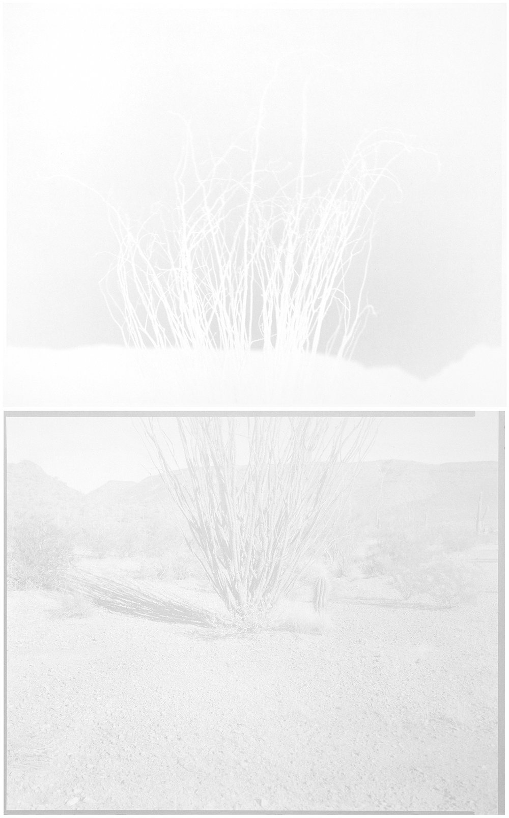 scott b. davis   ocotillo (arizona upland),   2013   unique paper negative palladium/platinum prints, diptych   32 x 20 inches (each 16 x 20 inches)