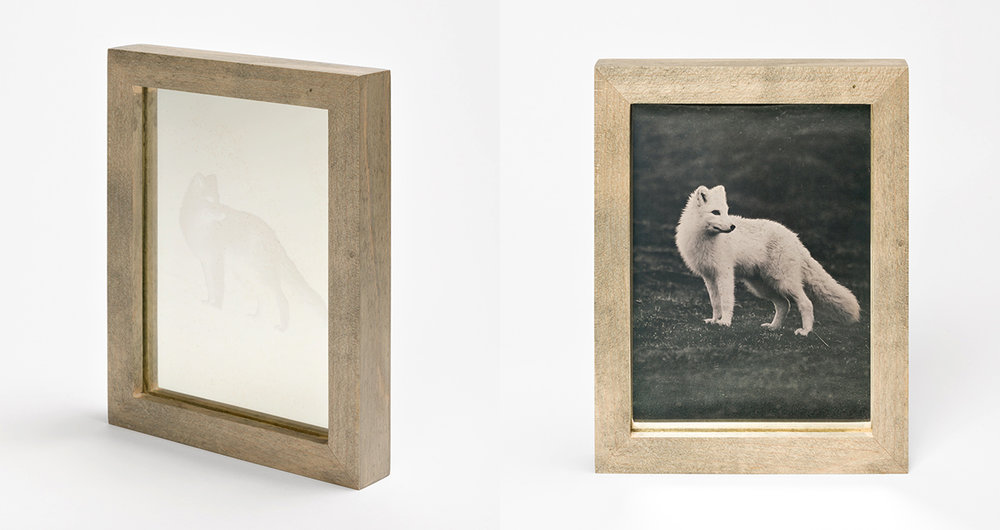 CHRISTINA SEELY Arctic - ARCTIC FOX Daguerreotype, 2012-2016 Museum Sets, 4.5 x 5.5 inches, edition of 3 + 1AP mall Single Plates, 2.5 x 3 inches, edition 3 + 1AP