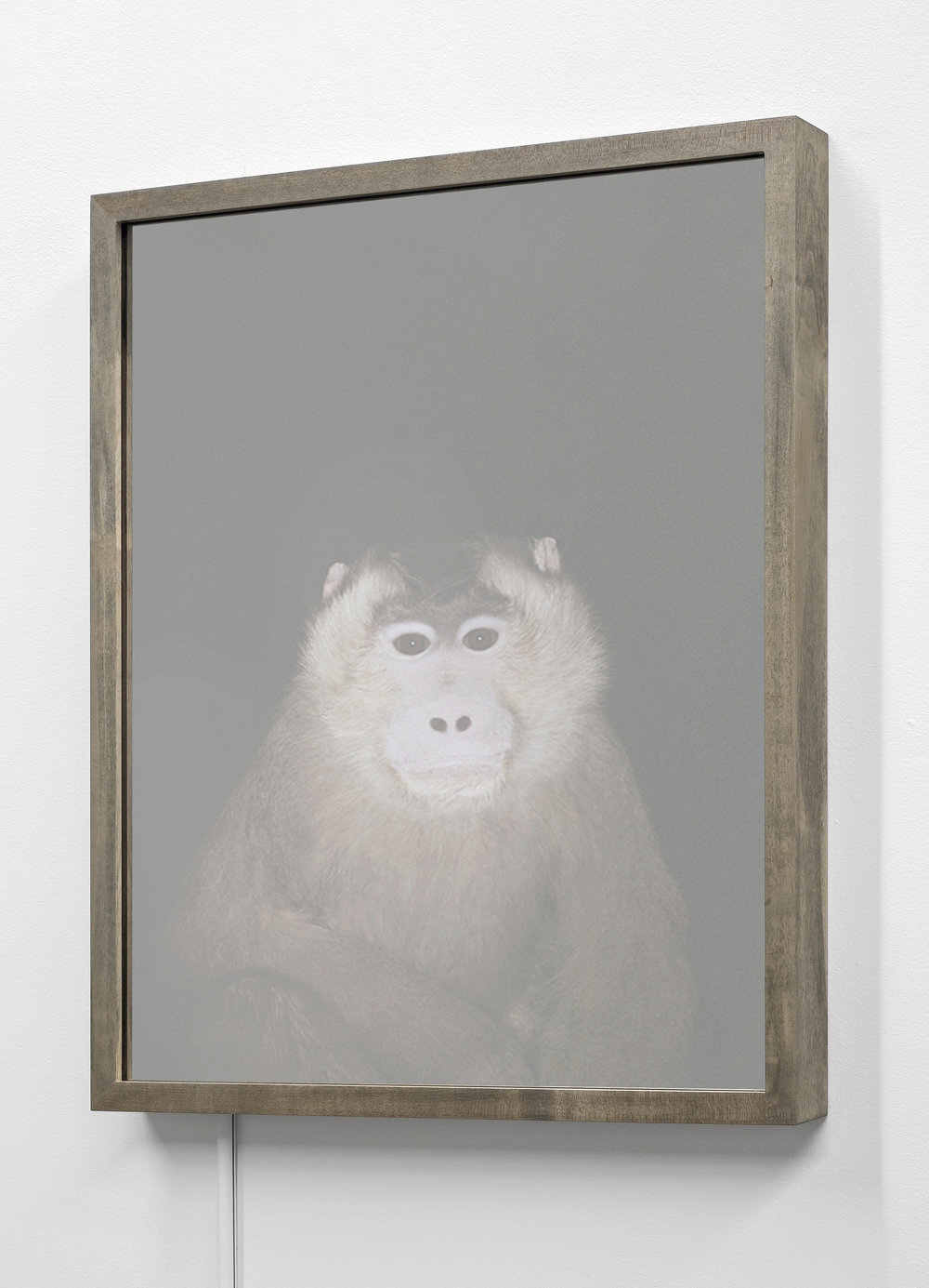 CHRISTINA SEELY  Pig-tailed Macaque,  Macaca nemestrina - Vulnerable Kinetic Mirrored Lightbox  Available sizes: 30 x 24 in | Edition of 3 + 1AP 20 x 16 in | Edition of 3 + 1AP