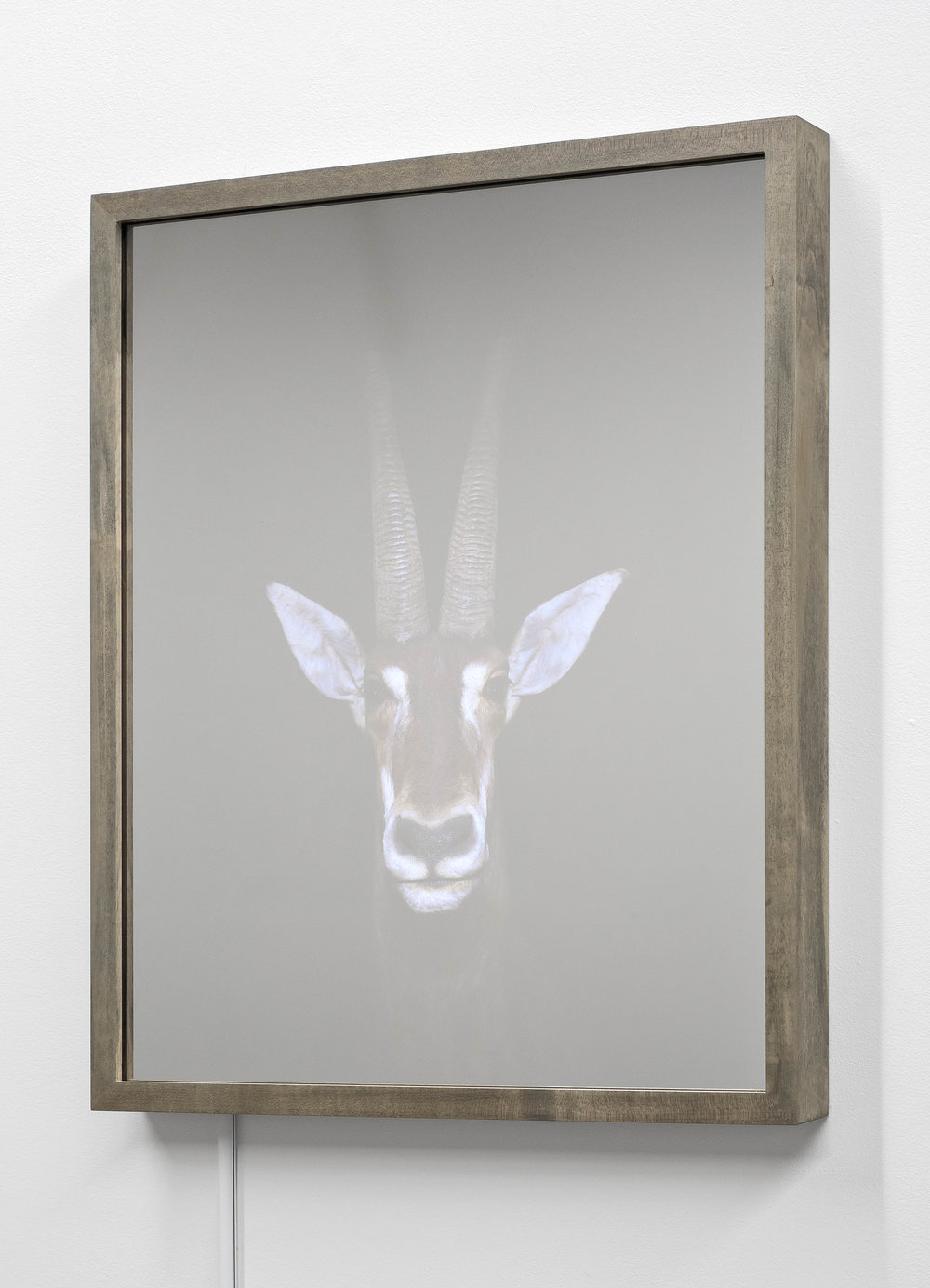 CHRISTINA SEELY  Sable Antelope,  Hippotragus niger - Vulnerable Kinetic Mirrored Lightbox  Available size:  30 x 24 in | Edition of 3 + 1AP 20 x 16 in | Edition of 3 + 1AP