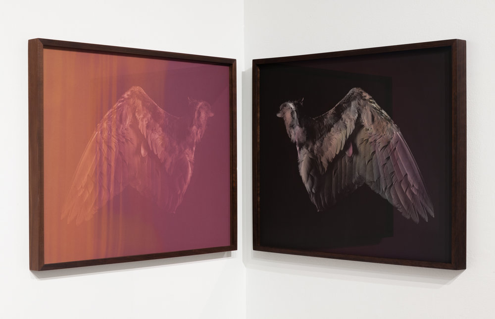 CHRISTINE ELFMAN  Wing , 2017 (diptych) Left: Anthotype (tiger lily, daisy, elderberry dyes on paper) Right: Silver gelatin print, painted with lily, daisy, elderberry dyes 22 x 27 inches each Edition varée 1/2 + 1AP
