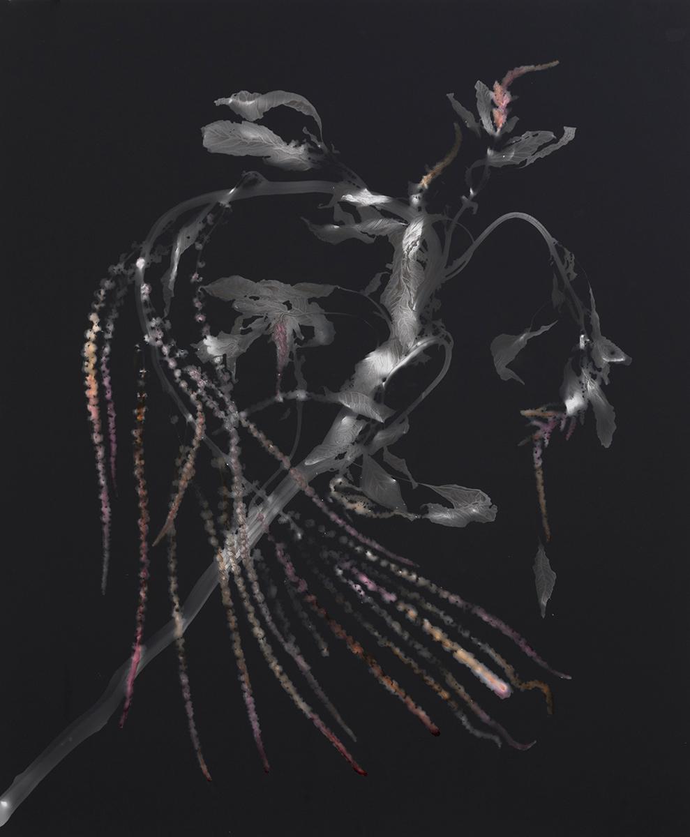 CHRISTINE ELFMAN  Amaranth Photogram II,  2016  Unique silver gelatin print, pencil, amaranth  24 x 20 inches