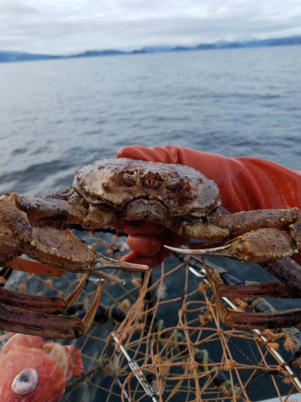 Tanner Crab.JPG