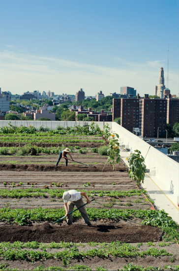 Brooklyn Edible June, 7th 2014 - The Brooklyn Grange Welcomes Refugees to Mutual Benefit