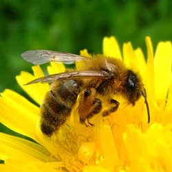 Honeybee used for arthritis and allergies.