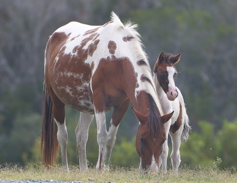 Chincoteague ponies photographed by John Cebula