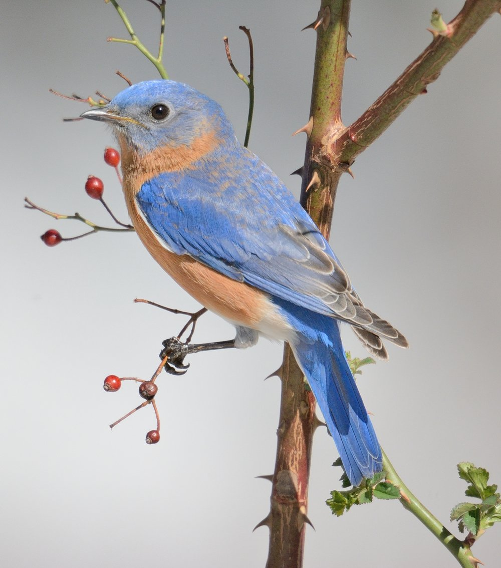 Eastern Bluebird photographed by John Cebula